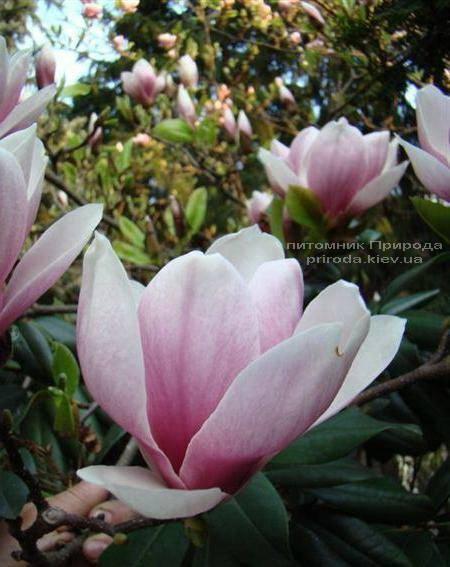 Магнолия Суланжа Александрина (Magnolia soulangeana Alexandrina) (1)