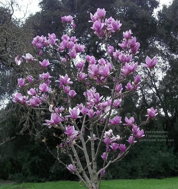 Магнолія Суланжа Александріна (Magnolia soulangeana Alexandrina) (2)