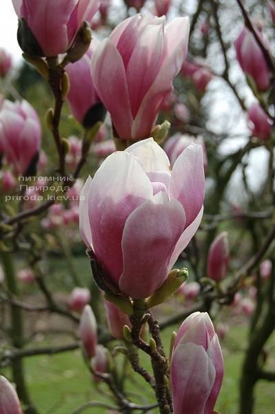 Магнолія Суланжа Александріна (Magnolia soulangeana Alexandrina) (3)