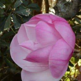 Магнолия Суланжа Сюзанна Ван Вин (Magnolia soulangeana Susanna van Veen) ФОТО Питомник растений Природа (Priroda) (1)