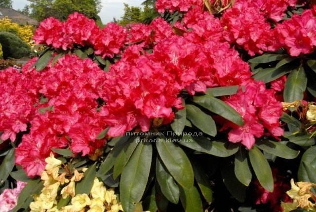 Рододендрон крупноцветковый Астрид (Rhododendron Astrid) (1)