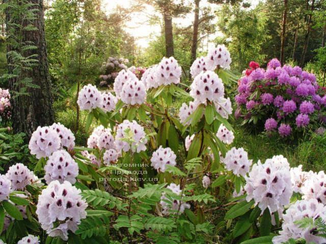 Рододендрон крупноцветковый Калсап (Rhododendron Calsap) (2)