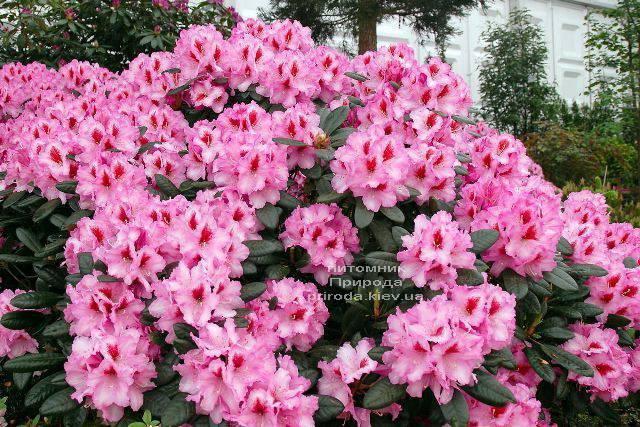 Рододендрон крупноцветковый Диадем (Rhododendron Diadem) ФОТО Питомник растений Природа (Priroda) (1)