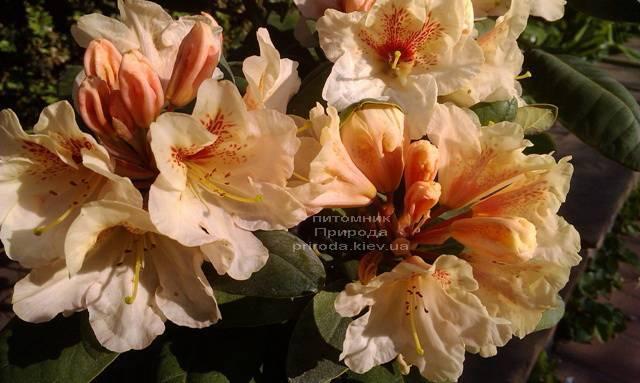 Рододендрон крупноцветковый Голдбукет (Rhododendron Goldbukett) ФОТО Питомник растений Природа (Priroda) (3)