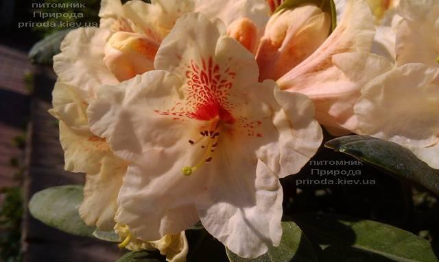 Рододендрон крупноцветковый Голдбукет (Rhododendron Goldbukett) ФОТО Питомник растений Природа (Priroda) (5)
