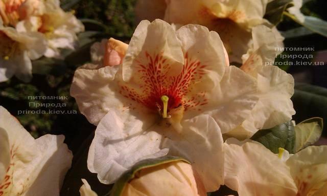 Рододендрон крупноцветковый Голдбукет (Rhododendron Goldbukett) ФОТО Питомник растений Природа (Priroda) (7)