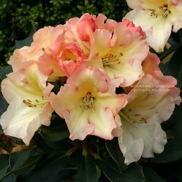 Рододендрон крупноцветковы Херайзен Монарх (Rhododendron Horizon Monarch) (2)