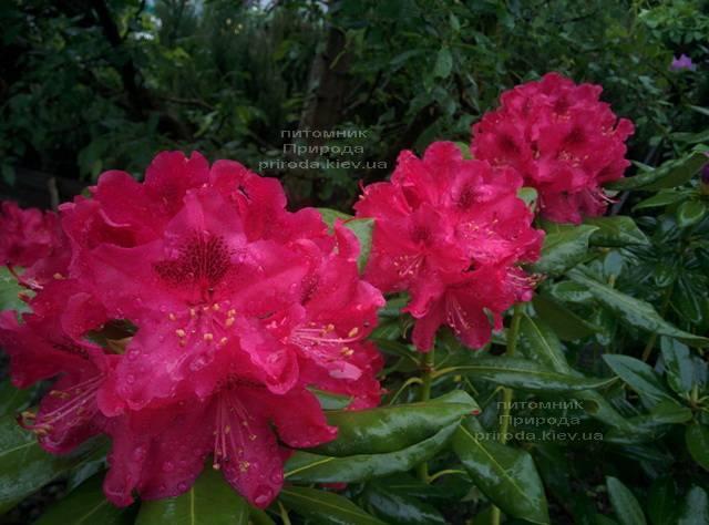 Рододендрон крупноцветковий Нова Зембли (Rododendron Nova Zembla) ФОТО Розплідник рослин Природа (Priroda) (6)