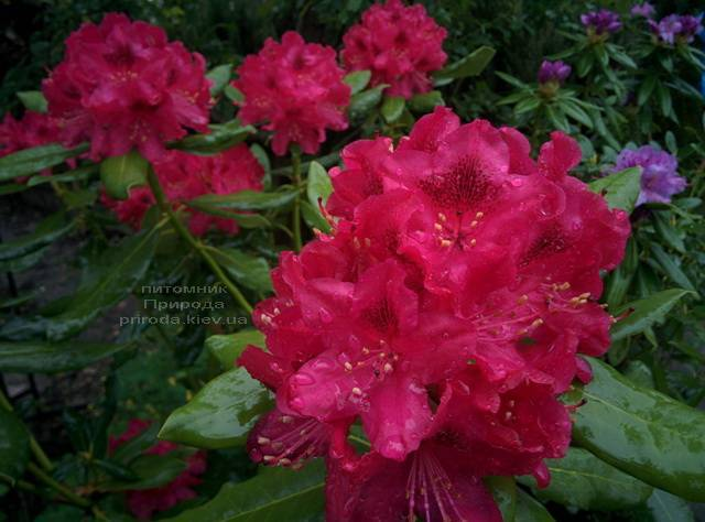 Рододендрон крупноцветковий Нова Зембли (Rododendron Nova Zembla) ФОТО Розплідник рослин Природа (Priroda) (7)