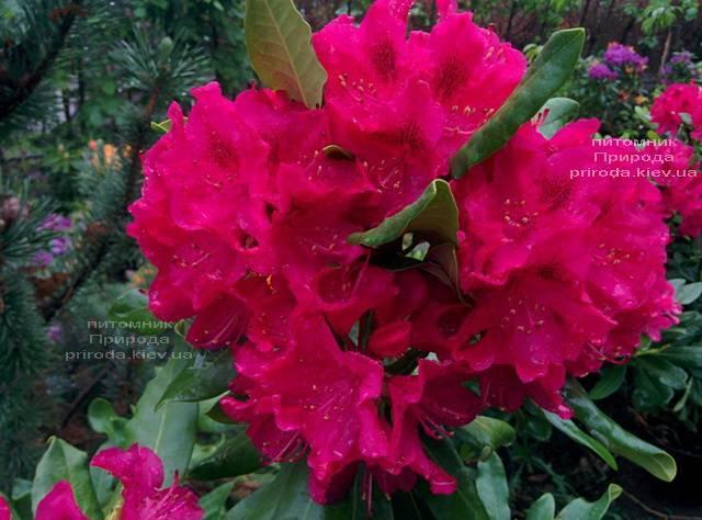 Рододендрон крупноцветковий Нова Зембли (Rododendron Nova Zembla) ФОТО Розплідник рослин Природа (Priroda) (8)