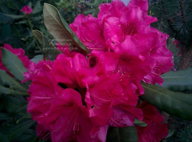 Рододендрон крупноцветковий Нова Зембли (Rododendron Nova Zembla) ФОТО Розплідник рослин Природа (Priroda) (9)