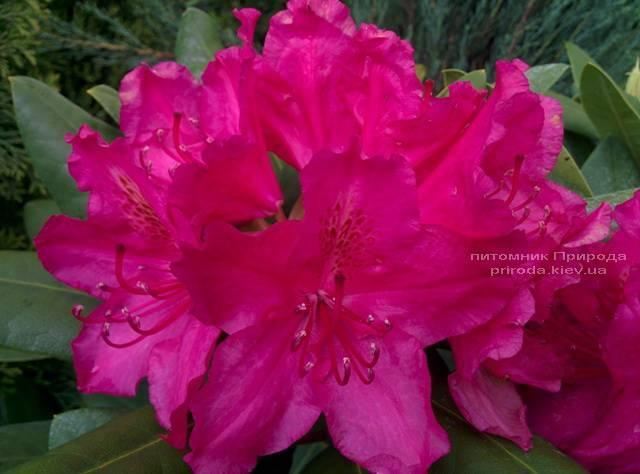 Рододендрон крупноцветковый Американ Бьюти (Rhododendron Pearces American Beauty) ФОТО Питомник растений Природа (Priroda) (5)