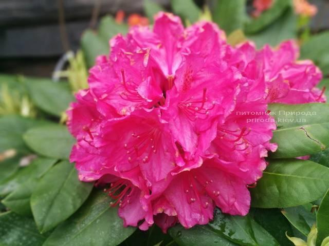 Рододендрон крупноцветковый Американ Бьюти (Rhododendron Pearces American Beauty) ФОТО Питомник растений Природа (Priroda) (6)