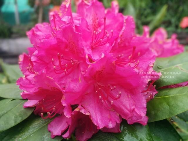 Рододендрон крупноцветковый Американ Бьюти (Rhododendron Pearces American Beauty) ФОТО Питомник растений Природа (Priroda) (7)