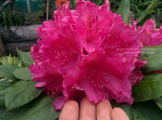 Рододендрон крупноцветковый Американ Бьюти (Rhododendron Pearces American Beauty) ФОТО Питомник растений Природа (Priroda) (8)