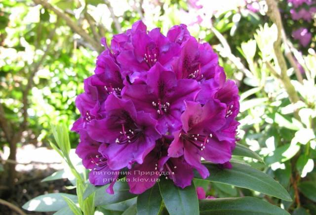 Рододендрон крупноцветковый Поларнэхт (Rhododendron Polarnacht) (2)