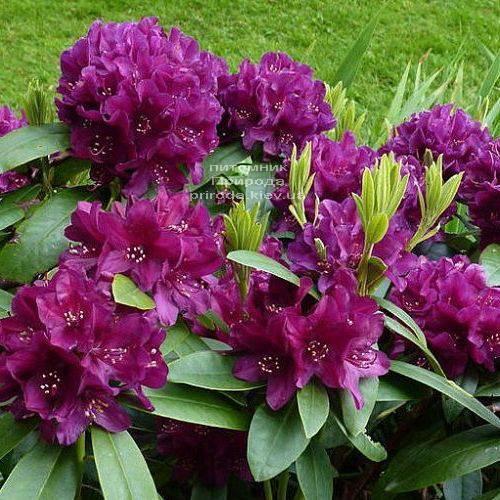 Рододендрон крупноцветковый Поларнэхт (Rhododendron Polarnacht) (3)
