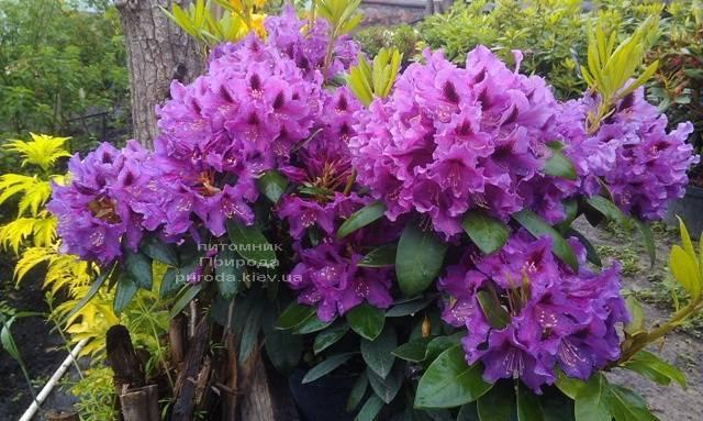 Рододендрон крупноцветковый Распутин (Rhododendron Rasputin) ФОТО Питомник растений Природа (Priroda) (13)