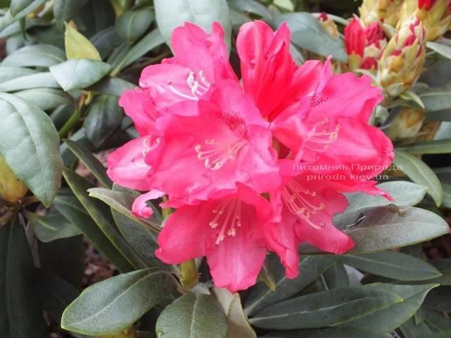 Рододендрон крупноцветковый Знидзи (Rhododendron Snezzy) (3)