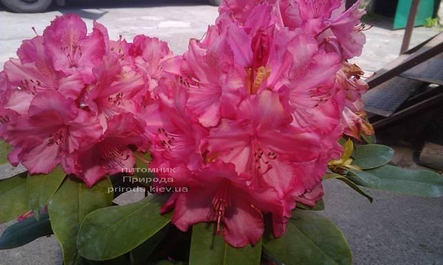 Рододендрон крупноцветковый Штернзаубер (Rhododendron Sternzauber) ФОТО (1)