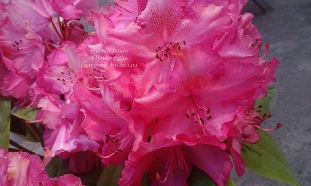 Рододендрон крупноцветковый Штернзаубер (Rhododendron Sternzauber) ФОТО (4)