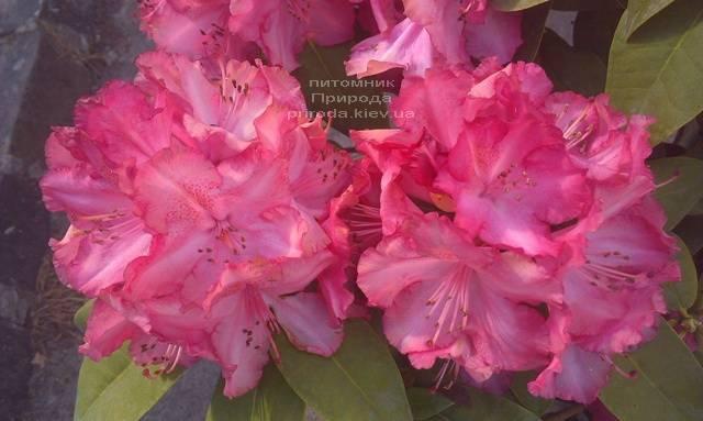 Рододендрон крупноцветковый Штернзаубер (Rhododendron Sternzauber) ФОТО (6)
