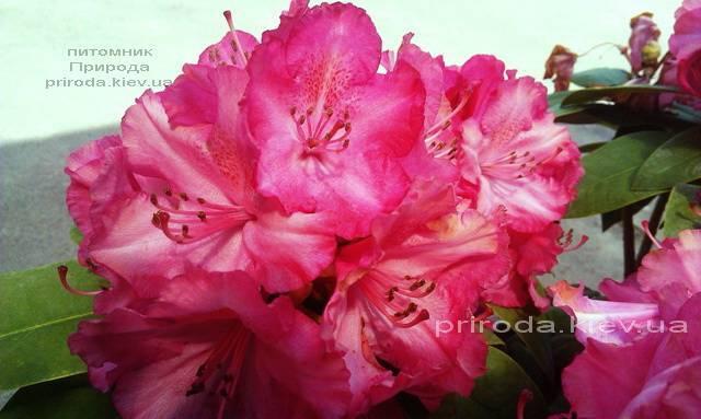 Рододендрон крупноцветковый Штернзаубер (Rhododendron Sternzauber) ФОТО (8)
