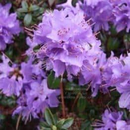 Рододендрон мілкоцвітна Блю Тит (Rhododendron Blue Tit) (1)