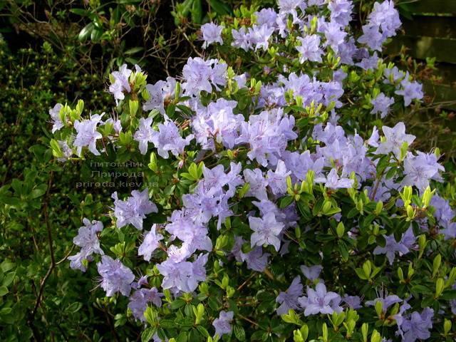 Рододендрон мелкоцветковый Блю Тит (Rhododendron Blue Tit) (3)