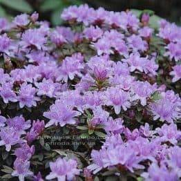 Рододендрон мілкоцвітна Бухловіце (Rhododendron Buchlovice) (2)