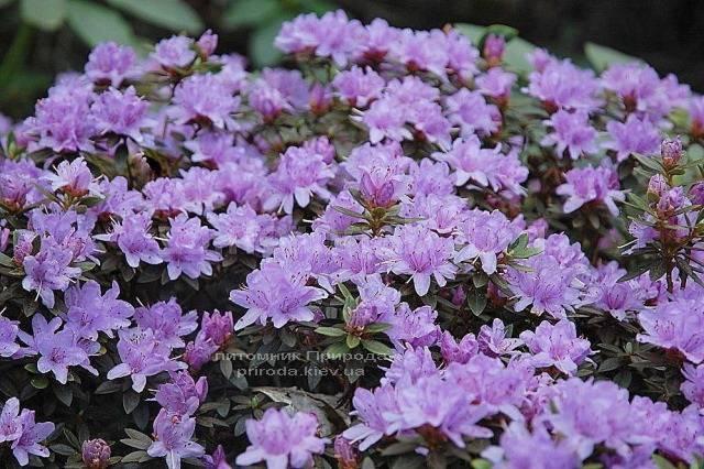 Рододендрон мелкоцветковый Бухловице (Rhododendron Buchlovice) (2)