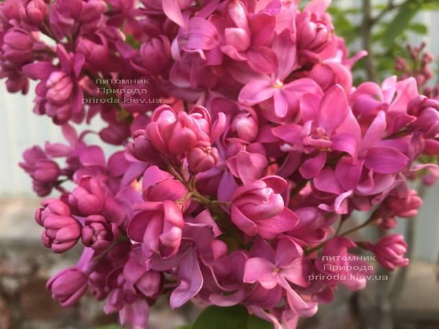 Бузок Богдан Хмельницький (Syringa vulgaris Bogdan Khmelnitskiy) ФОТО Розплідник рослин Природа Priroda (3)