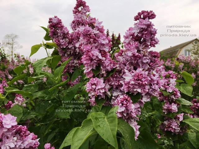 Сирень Кэтрин Хавемейер (Syringa vulgaris Kathrine Havemeyer) ФОТО Питомник растений Природа (Priroda) (3)