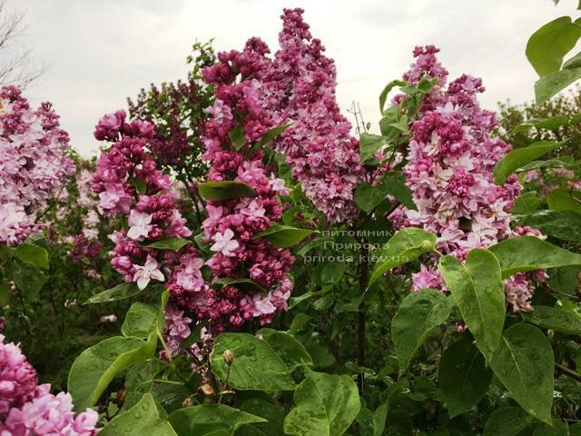 Сирень Кэтрин Хавемейер (Syringa vulgaris Kathrine Havemeyer) ФОТО Питомник растений Природа (Priroda) (4)