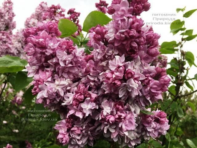 Бузок Кетрін Хавемейер (Syringa vulgaris Kathrine Havemeyer) ФОТО Розплідник рослин Природа (Priroda) (5)