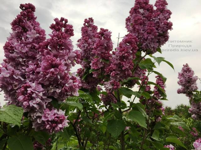 Сирень Кэтрин Хавемейер (Syringa vulgaris Kathrine Havemeyer) ФОТО Питомник растений Природа (Priroda) (7)