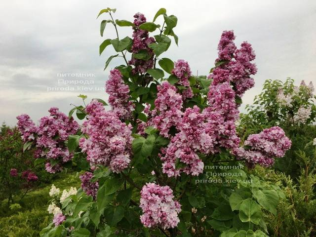 Сирень Кэтрин Хавемейер (Syringa vulgaris Kathrine Havemeyer) ФОТО Питомник растений Природа (Priroda) (8)