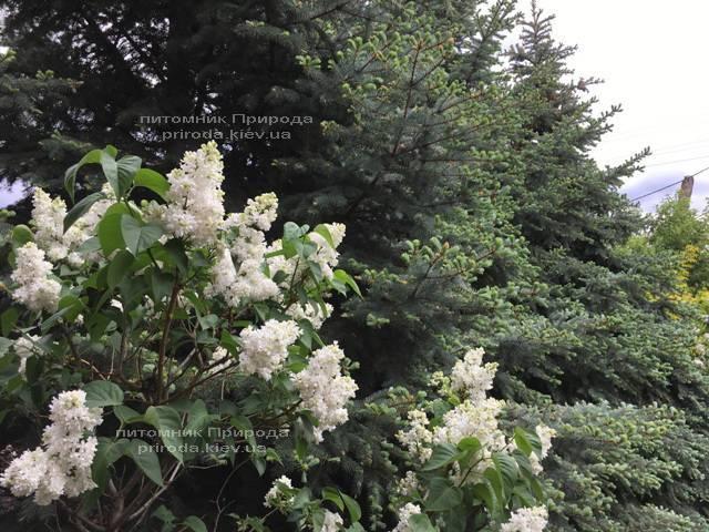 Сирень Леся Украинка (Syringa vulgaris Lesya Ukrainka) ФОТО Питомник растений Природа (Priroda) (3)