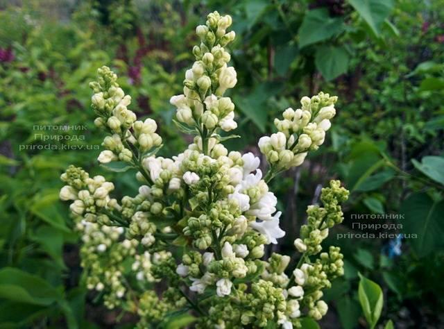 Сирень Леся Украинка (Syringa vulgaris Lesya Ukrainka) ФОТО Питомник растений Природа (Priroda) (4)