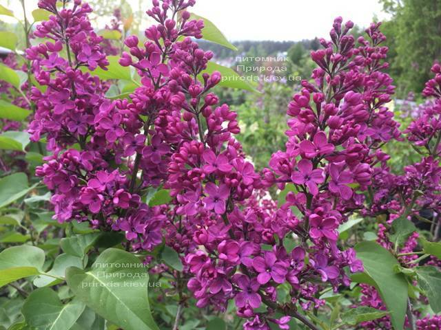 Бузок Людвіг Шпет (Syringa vulgaris Andenken an Ludwig Spath) ФОТО Розплідник рослин Природа (Priroda) (5)