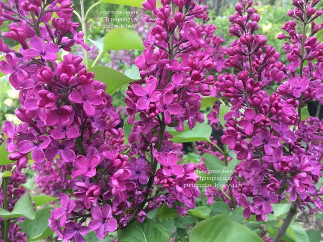 Бузок Людвіг Шпет (Syringa vulgaris Andenken an Ludwig Spath) ФОТО Розплідник рослин Природа (Priroda) (6)