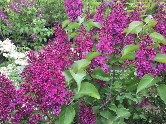 Бузок Людвіг Шпет (Syringa vulgaris Andenken an Ludwig Spath) ФОТО Розплідник рослин Природа (Priroda) (7)