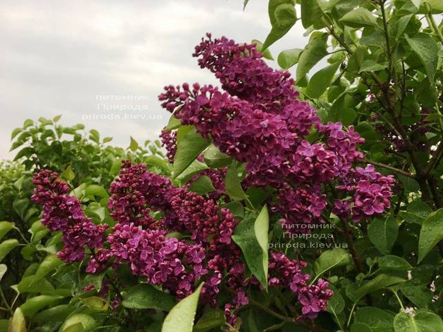 Бузок Людвіг Шпет (Syringa vulgaris Andenken an Ludwig Spath) ФОТО Розплідник рослин Природа (Priroda) (8)