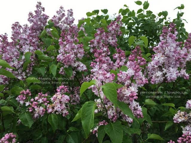 Сирень Мадам Антуан Бюхнер (Syringa vulgaris Mme Antoine Buchner) ФОТО Питомник растений Природа (Priroda) (10)