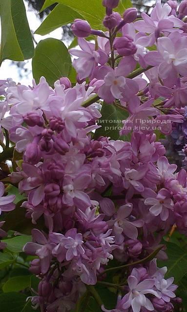 Сирень Мадам Антуан Бюхнер (Syringa vulgaris Mme Antoine Buchner) ФОТО Питомник растений Природа (Priroda) (8)