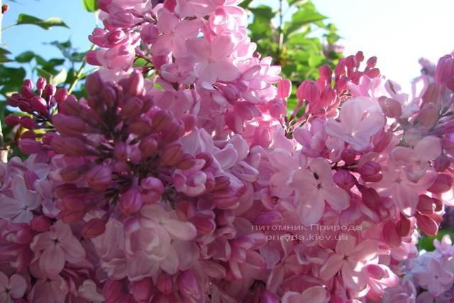 Сирень Маршал Фош (Syringa vulgaris Marchal Foch) ФОТО Питомник растений Природа (Priroda) (11)