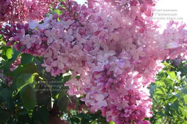 Сирень Маршал Фош (Syringa vulgaris Marchal Foch) ФОТО Питомник растений Природа (Priroda) (12)