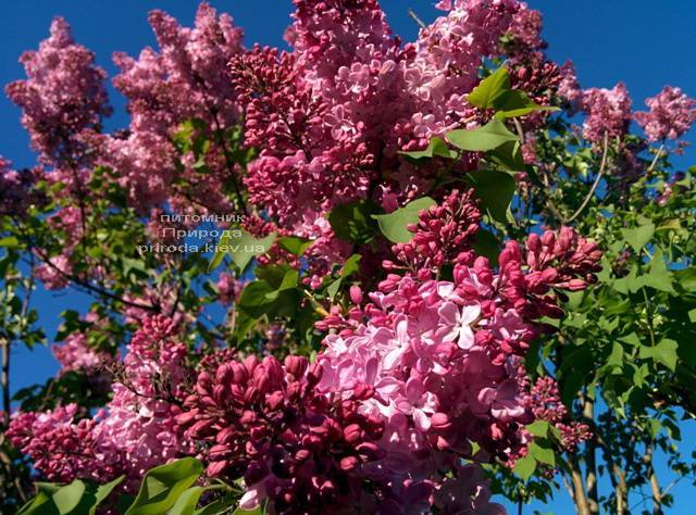 Сирень Маршал Фош (Syringa vulgaris Marchal Foch) ФОТО Питомник растений Природа (Priroda) (13)