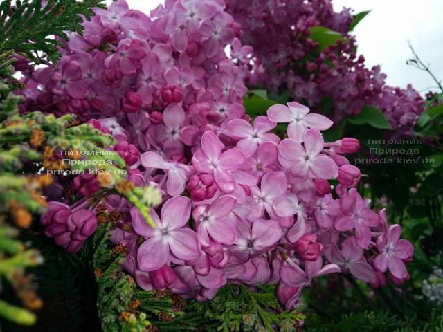 Сирень Маршал Фош (Syringa vulgaris Marchal Foch) ФОТО Питомник растений Природа (Priroda) (15)