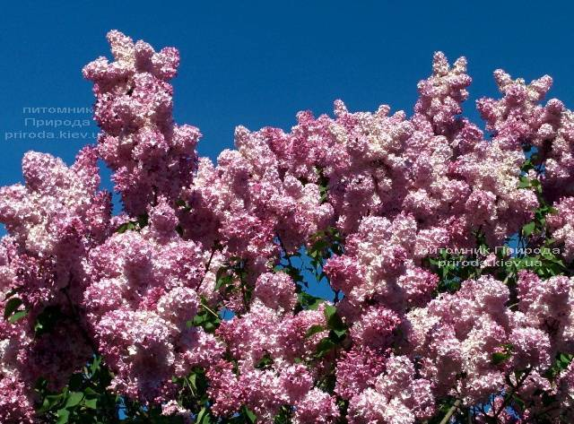 Сирень Маршал Фош (Syringa vulgaris Marchal Foch) ФОТО Питомник растений Природа (Priroda) (18)